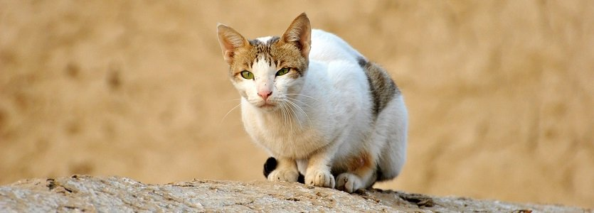 O português e o gato