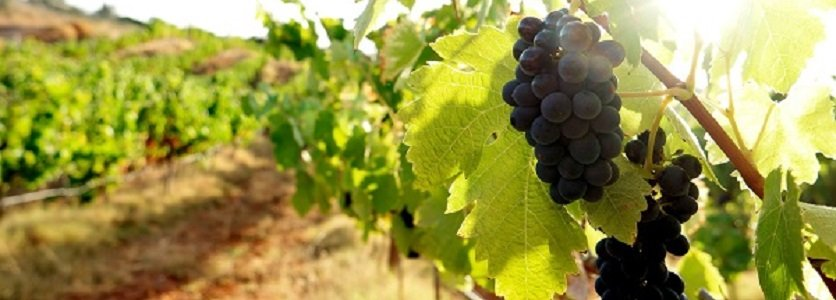 Melhor vinho do Algarve é de Lagoa!