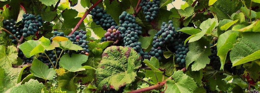 Cooperativa Vinícola Garibaldi busca fortalecer negócios na Wine South America